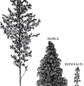 size and bushiness of Sativa, indica and ruderalis strains