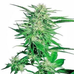 Big Bud Seeds - sensi-seeds - 10