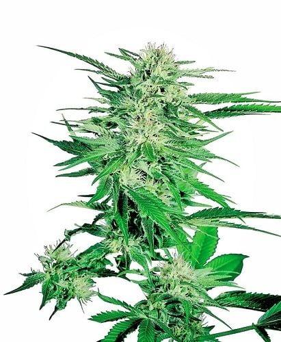 Big Bud sold by sensi seeds