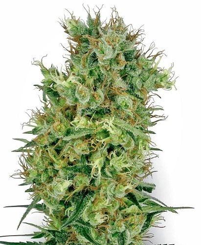 Cali Orange Bud ready to smoke