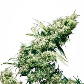 Jamaican Pearl Feminized Seeds - tiger-one-seeds-by-sensi-seeds - 10