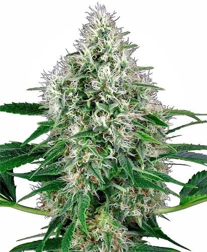 Pure power autoflowering bud