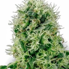 Pure Power Plant Feminized Seeds - sensi-seeds - 5