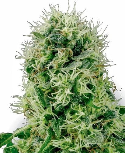 Pure power plant female flower