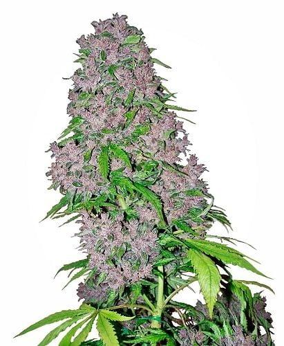 Purple bud flowering stage