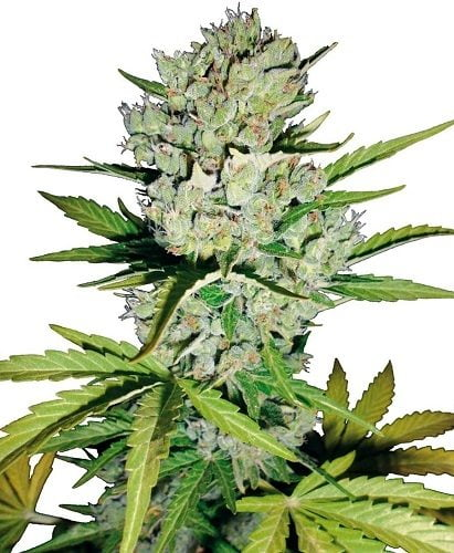 Apex of Super Skunk autoflo bud