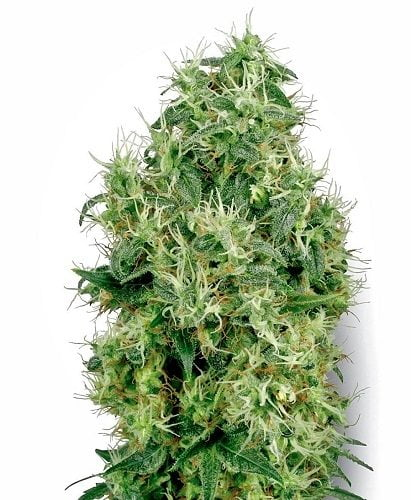 White feminized marijuana bud