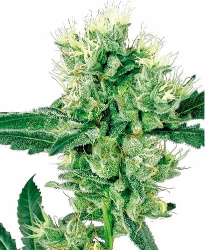 White haze Marijuana by sensi seeds