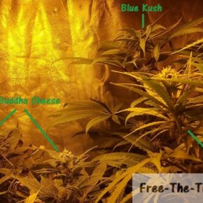 Very bid size difference between different strains