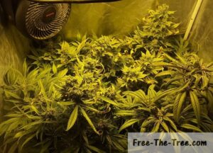 5 Strains during the 8th week of the flowering period