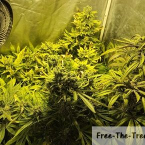 Marijuana flowers at the 9th week of the flowering period