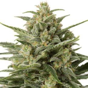 White Widow XXL Autoflowering Seeds - tiger-one-seeds-by-dinafem-seeds - 1