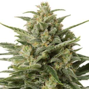 thumbnail White Widow XXL Autoflowering Seeds