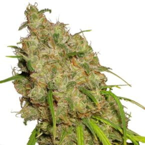 Desfran Feminized Seeds - tiger-one-seeds-by-dutch-passion - 1