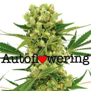ilovegrowingmarijuana Amnesia Haze Automatic Flower