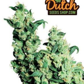Jock Horror Autoflowering Seeds - dutch-seeds-shop - 50