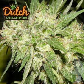 BC Big Bud Feminized Seeds - dutch-seeds-shop - 10