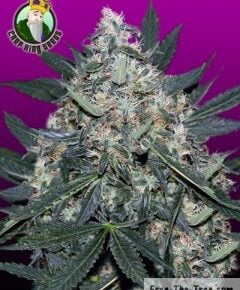 Black Indica Feminized Seeds - crop-king-seeds - 5