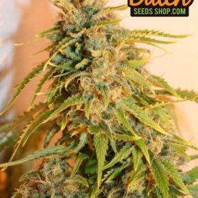 Lowryder Seeds X 10 - dutch-seeds-shop - n-a