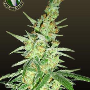 Morpheus Seeds - crop-king-seeds - 5