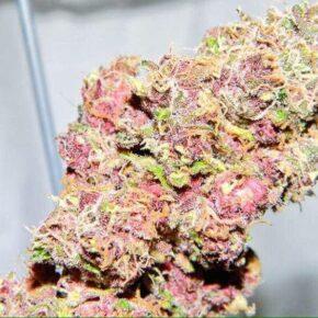 Pink Panther Seeds - dutch-seeds-shop - 10