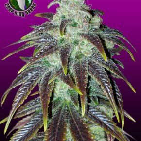 Sour Jack Seeds - crop-king-seeds - 5