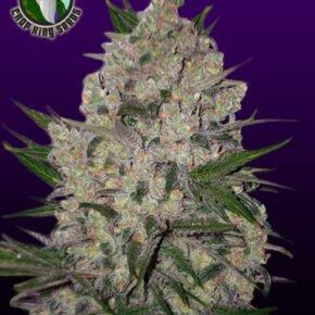 Zeus Seeds - crop-king-seeds - 5