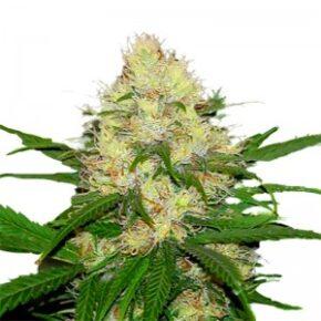 Ams XTRM Feminized Seeds - amsterdam-marijuana-seeds - 5