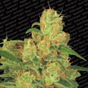 Acid Autoflowering Seeds - paradise-seeds - 3