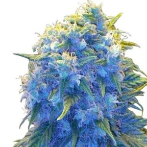 Blue Haze feminized flowers ready to harvest