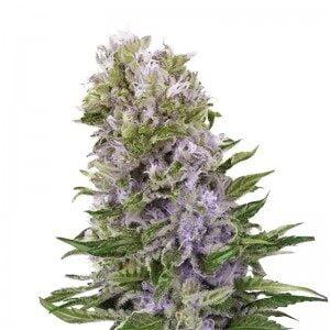 thumbnail Blueberry 420 Seeds