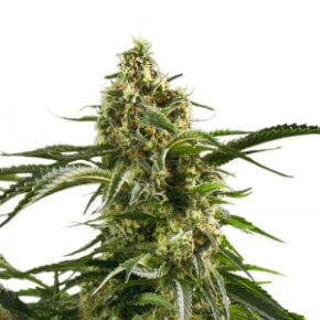 Bob Marley Seeds - amsterdam-marijuana-seeds - 10
