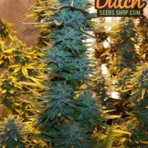 AK-48 Seeds - tiger-one-seeds-by-nirvana-seeds - 10