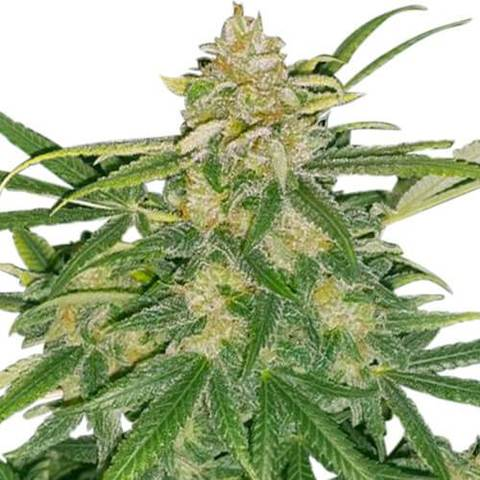 Critical Mass feminized flower ready to for harvest