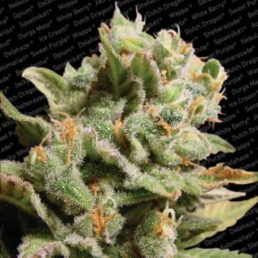 Dutch Dragon Feminized Seeds - paradise-seeds - 3