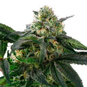 Easy Rider Seeds - amsterdam-marijuana-seeds - 10