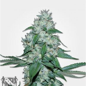 Great White Shark Feminized Seeds - tiger-one-seeds-by-greenhouse-seed-co - 10