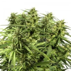 Happy Outdoor Mix Seeds - amsterdam-marijuana-seeds - 10
