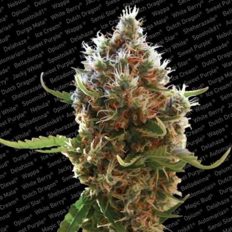lucid bolt feminised weed flower