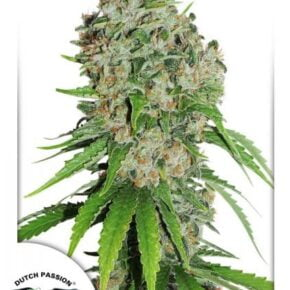Outlaw Amnesia Feminized Seeds - tiger-one-seeds-by-dutch-passion - 1