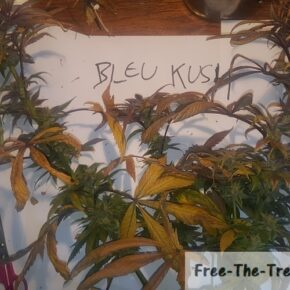 Blue Kush just harvested with purple and yellow leaves