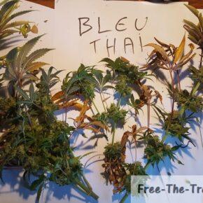 freshly harvested blue thai plant