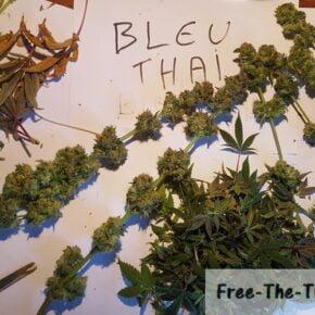blue thai ready to dry