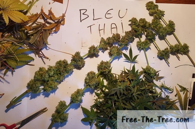blue thai ready to dry