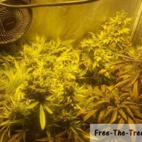 marijuana week 11 flowering stage