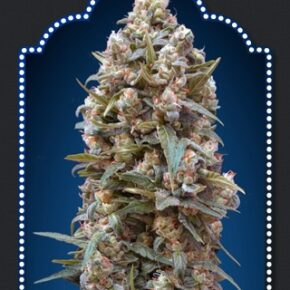 00 Kush Feminized Seeds - seedsman-by-00-seeds - 5