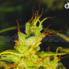 2046 Feminized Seeds - seedsman-by-medical-seeds - 3