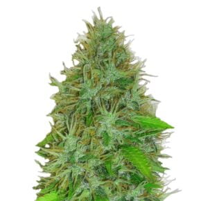 2 Fast 2 Vast Autoflowering Seeds - tiger-one-seeds-by-heavyweight-seeds - 5