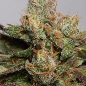 707 Truthband Feminized Seeds - seedsman-by-humboldt-seeds - 3