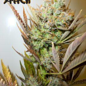 Ace Autoflowering Seeds - seedsman-by-flash-seeds - 3